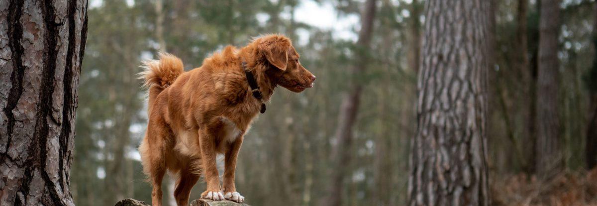 czystek dla psa na kleszcze