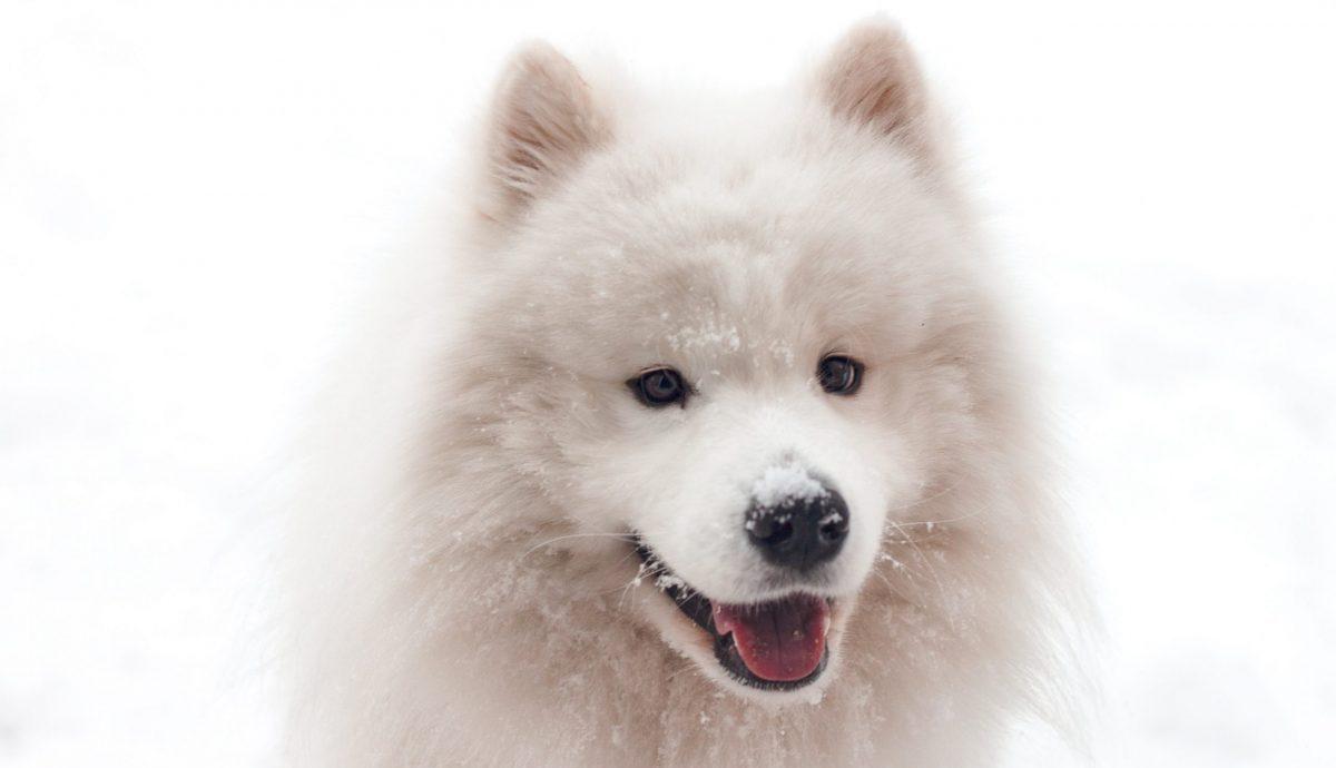 samoyed pies